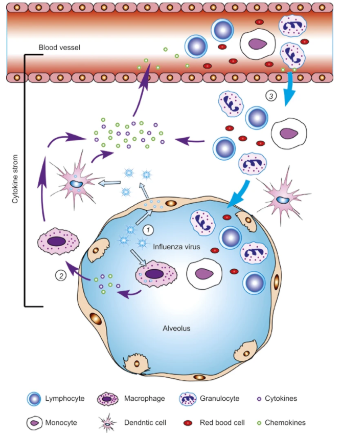 Cytokine storm in the lung following severe influenza infection